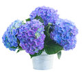 Posy of blue hortensia flowers in metal pot isolated on white background Royalty Free Stock Image