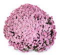 A pot of beautiful pink autumn chrysanthemums Stock Photos