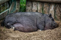 Pot bellied pig large sleeping in the farmyard dirt Royalty Free Stock Images