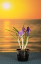 Pot with crocuses on bamboo cloth a against the sea Royalty Free Stock Photo