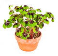 Pot with four leaf clover plant Royalty Free Stock Photo