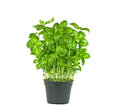 Pot of fresh basil plant on white background Stock Photos