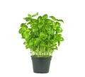 Fresh basil plant Royalty Free Stock Photo