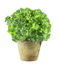 Pot of fresh flat leaf parsley Royalty Free Stock Photo