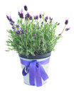 Pot of lavender flowers on white Royalty Free Stock Photo