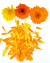 Pot marigold Stock Photography