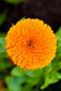 Pot Marigold (lat. Calendula officinalis) Stock Photo