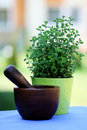 Pot of oregano Stock Image