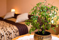 Pot plant in a bedroom with double bed and lamp the background Royalty Free Stock Photo