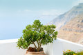Pot plant island santorini oia greece with Royalty Free Stock Images