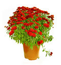 Pot with the  red chrysanthemums. Stock Images