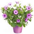 Pot violet african daisy dimorphoteca osteospermum flower Stock Images