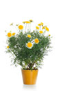 Pot with yellow daisy flower Stock Images