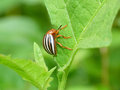 Potato beetle eating a leaf closeup of green Royalty Free Stock Photography