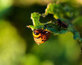 Potato beetle macro shoot of on leaf Royalty Free Stock Photo