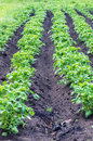 Potato in the black ground green plants Royalty Free Stock Photos