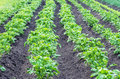 Potato in the black ground green plants potatoe Royalty Free Stock Photos
