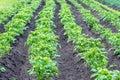Potato in the black ground green plants potatoe Royalty Free Stock Photos