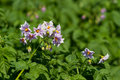 Potato bush blooming with pink flowers Stock Photos