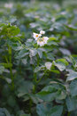 Potato bush blooming with white flowers on the garden bed close up Stock Images