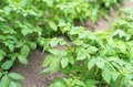 Potato bushes field of green Royalty Free Stock Images