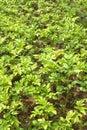 Potato bushes grows in garden close up Royalty Free Stock Photo