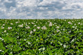 Potato field flowers agriculture Royalty Free Stock Photo