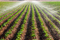 Potato field landscape with irrigation sprinkler watering the plants great for agriculture publication Royalty Free Stock Images