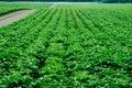 Potato field, monoculture Royalty Free Stock Photo