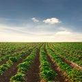 Potato field on a sunset under blue sky Royalty Free Stock Photo