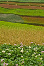 Potato fields with colourful terraced fields 3 Royalty Free Stock Photos