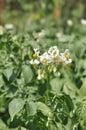 Potato flower Royalty Free Stock Photo