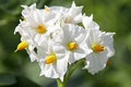 Potato flowers Royalty Free Stock Photo