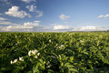 Potato plant flowers on sunny day midwest usa field and Royalty Free Stock Images