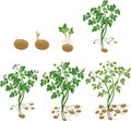 Potato plant growth cycle Royalty Free Stock Photo