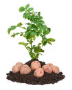 Potato plants Stock Photo