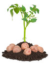 Potato plants Royalty Free Stock Photos