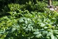 Potato plants with blossoms in a close-up in the garden Royalty Free Stock Photo