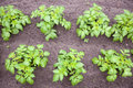 Potato plants in garden young vegetable Royalty Free Stock Photography