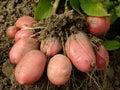 Potato tubers Royalty Free Stock Photo