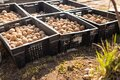 Potato planting season. Tubers lie in black boxes in the sun for germination Royalty Free Stock Photo