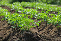 Potatoe plant organic growing in the garden Stock Photos