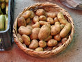 Potatoes in a basket freshly picked and placed straw Royalty Free Stock Photo