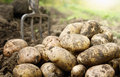 Potatoes in the field Royalty Free Stock Photo