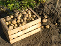 Potatoes fresh from the field in a wooden box Stock Photo
