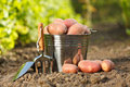 Potatoes and garden tools tin bucket full of red near Royalty Free Stock Photo