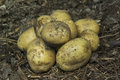 Potatoes gathered new in vegetable garden Royalty Free Stock Photos