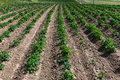 European Potatoes plantation Royalty Free Stock Photo