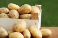 Potatoes raw in wooden box in the garden Stock Photography