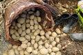 Potatoes from small home farm Royalty Free Stock Photo